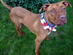 SAFE 7-3-2015 by  All Breed Rescue Vermont --- Manhattan Center STORM – A1040953 MALE, TAN, PIT BULL MIX, 1 yr OWNER SUR – EVALUATE, NO HOLD Reason PERS PROB Intake condition EXAM REQ Intake Date 06/20/2015