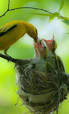 Black-naped Oriole feeding chicks. - photographer Ahn.b.k