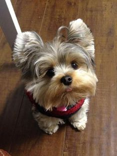 The Popular Pet and Lap Dog: Yorkshire Terrier - Champion Dogs Yorkies, Yorkie Puppy, Teacup Yorkie, Cute Puppies, Cute Dogs, Dogs And Puppies, Perros Yorkshire Terrier, Baby Animals, Cute Animals