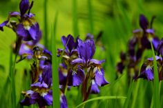 Purple Irises at the Yaddo Rose Garden in Saratoga Springs, N.Y.      June 10, 2012.