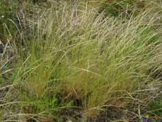 vulpia myuros - rat tail fescue.  Non-native california grass.  Made up of many fine stems that eventually lean over.