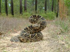 Diamond back snake skins | Knoxville Zoo | Eastern Diamondback Rattlesnake