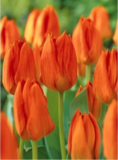 CHS Orange Emperor Tulip