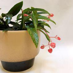 Blad begonia