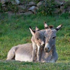 Donkey and foal. - Someday I want to own a donkey. Cute Baby Animals, Farm Animals, Animals And Pets, Funny Animals, Wild Animals, Mother And Baby Animals, Beautiful Creatures, Animals Beautiful, Cute Donkey