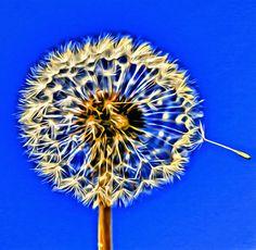 Macro, flower, dandelion, editing, photography, Spring , colors