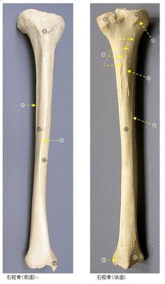 anatomy of tibia 脛骨について(用語、名称、写真、脛骨に付く筋) | トレンドの樹