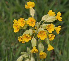 Cowslip   Cowslip- Primula veris