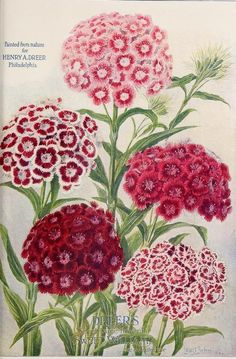 Dreer's Select Large Flowering Sweet Williams. 'Painted from nature' by Louis Schmidt. Dreer's 72nd Annual Edition Garden Book (1910).