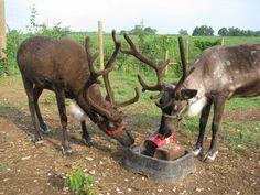 Reindeer: Snowshoe & Avalanche