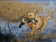 Ducks Unlimited Dog Retrieving