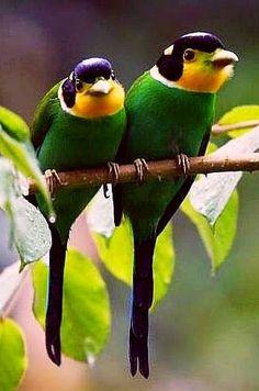 Birds… Long tailed broadbills