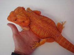 SULTAN - Red Citrus Het. Hypo (Bearded Dragon)