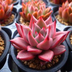 #succulent #plants #echeveria