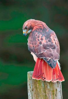 The Red-tailed Hawk