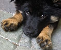 Cute puppy! I want the first dog I adopt to be some kind of collie or collie mix.