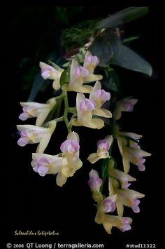 Scleochilus latipetalus. A species orchid (color)