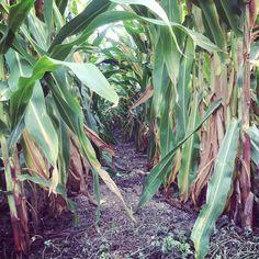 #CornRows
