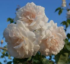 'Madame Alfred Carrière (Noisette, Schwartz, 1875)' rose photo - growing these on the arbor over my fence gate