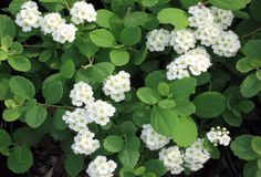 Spirea betulifolia 'Tor'.Delicate white blossoms in May, striking burnt-orang/burgundy foliage in Autumn.  Sun to partial shade, forms a tidy 2-3' mound.