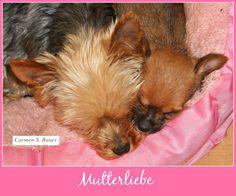 """Mini aus dem Buch """"Yorkshire Terrier - Zwerge mit Löwenherz"""" mit einem ihrer Jungen. http://www.drcarmenbauer.com/yorkshire-terrier.html"""