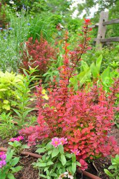 'Rocket Orange' barberry in the lower garden with blue cornflower, native milkweed, 'Bengal Tiger' cannas