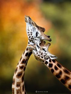 Giraffes Necking (by Marina Cano)