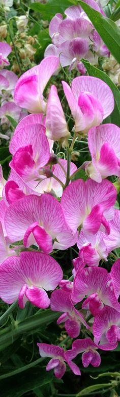 Pink Sweet Peas. So Beautiful, and one of my favorite Flowers.