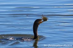Neotropic Cormorant birds in the blue lake eating a fish