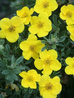 Potentilla Happy Face Yellow to deter the deer from your garden.  Zones 2-6.