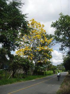 GUAYACAN AMARILLO ( VALLE DEL CAUCA ) Este hermoso! arbol se encuentra en la via Buga - la Magdalena en el Departamento del Valle del Cauca, que po... - Kimverlyn Giraldo - Google+