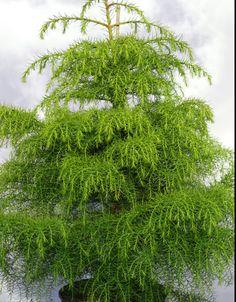 "Cryptomeria japonica ""Elegans Viridis""  (Taxodiaceae / Kúszó fenyő) Trees To Plant, Herbs, Garden, Flowers, Plants, Life, Garten, Tree Planting, Lawn And Garden"