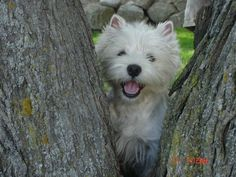 Typical Westie face ❤️