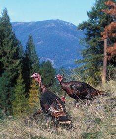 How to Hunt High-Country Turkeys
