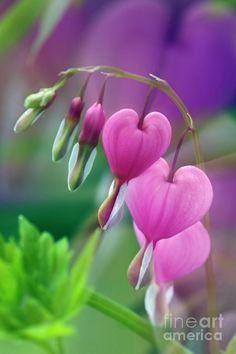 -BLEN: Flores de Bach- Bleeding Heart - a wonderful essence to heal a 'broken heart' due to bereavement, miscarriage, relationship etc Exotic Flowers, Amazing Flowers, My Flower, Flower Art, Beautiful Flowers, Bleeding Heart Vine, Bleeding Hearts, You Are My Moon, Dream Garden