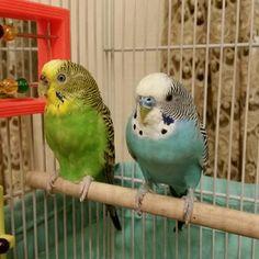 Beautiful #budgie parents Angel and Tweetie, shared by @elizabeth_agosta1998.  #paraketphotos #parakeets #parakeet #budgies #budgiephotos #budgerigar #parakeetsofinstagram #parakeetsofig#parakeetstagram #parakeetlover #parakeetlovers #parakeetlove #budgielover #budgielovers #budgielove #wellensittich #muhabbetkusu