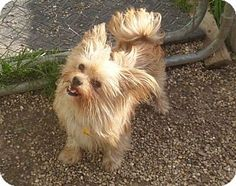 Mukwonago, WI - Pomeranian/Chihuahua Mix. Meet Fritz a Dog for Adoption.