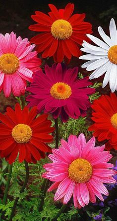 ~~Painted Daisy (Tanacetum coccineum hybrid) | well-known in the border and as cut flowers with big pastel-colored blooms. The plants are fairly tall so they are perfect for a long vase | Spalding Bulb~~ - Gardens For Life