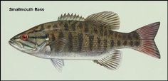 Smallmouth Bass - Learning How To Fish For Smallmouth