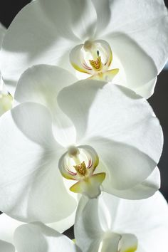 White #Orchids