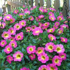 "Calibrachoa "" Superbells"" Beautiful  flower!"