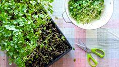 Alt du trenger er en lys vinduskarm, økologiske frø og god jord.