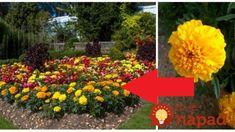 Tieto oranžové kvietky má v záhrade skoro každý: Ľudia však netušia, čo všetko dokáže – dávam ju do okien aj pred dvere! Korn, Plants, Plant, Planets
