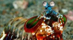 Las gambas mantis, que son crustáceos de unos 10 centímetros de largo (unas 4 pulgadas), presentes en aguas tropicales, tienen apéndices que usan para propinar golpes tremendos con los que pueden perforar caparazones de cangrejo y conchas de ostra. Esta singular estructura de ataque es capaz bajo el agua de una aceleración mayor que la experimentada por una bala del calibre 22. + info: http://www.ecoapuntes.com.ar/2012/07/el-crustaceo-que-propina-golpes-comparables-a-balazos/