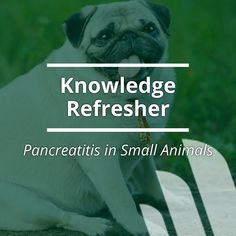 Watch to refresh your knowledge of pancreatitis in small animals. Click for the full details on the topic.