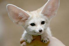 Baby fennec fox  #animal #baby #fennec #photography