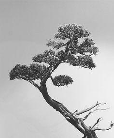 Bonsai Tree Fine Art Photograph - Print - Black and White Nature Photography