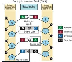 DNA - The Double Helix, Coloring Worksheet | Chemistry | Pinterest ...