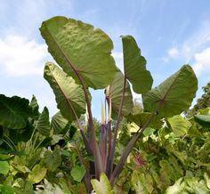 Colocasia 'Fierce Gigante' PPAF – Plants Nouveau