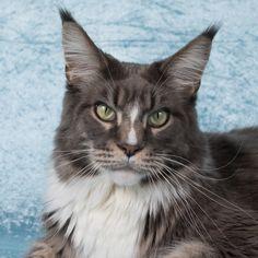 2 Januari 2016. 4 Jaar oud. Maine Coon Maine Coon, Diesel, Cats, Animals, Diesel Fuel, Gatos, Animales, Kitty Cats, Animaux